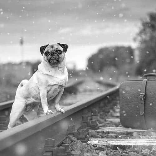 Pug With Suitcase On Railway Tracks